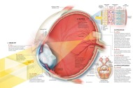5w-sample-036-eye-anatomy